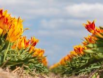 Coloque con los tulipanes coloridos en primavera foto de archivo