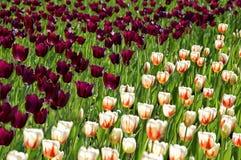Coloque con los tulipanes púrpuras y el blanco con los tulipanes anaranjados del modelo Fotos de archivo