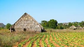 Coloque con plantas de tabaco y un granero en Cuba Imagen de archivo libre de regalías