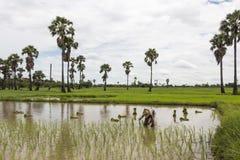 Coloque el arroz derecho de la planta del granjero asiático solo en el campo Imágenes de archivo libres de regalías