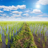 Coloque el arroz y el sol de arroz con las nubes blancas Fotos de archivo libres de regalías