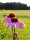 Coloque el prado con las flores rosadas del cono del echinacea en primero plano Fotografía de archivo
