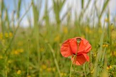coloque la amapola roja en la primavera, fondo del campo de trigo Imágenes de archivo libres de regalías