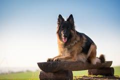 Coloque la silla de madera del dogon del pastor alemán en primavera Imagen de archivo libre de regalías