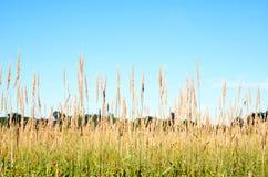 Coloque las cabezas de la semilla de la hierba altas contra el cielo azul fotos de archivo