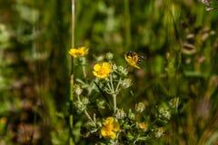 Coloque las flores amarillas en las cuales la abeja se está sentando Fotos de archivo