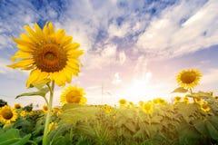 Coloque los girasoles con la luz de la llamarada en la salida del sol Fotografía de archivo