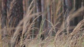 Coloque plantas, grama dourada das orelhas que balança na brisa contra o céu video estoque