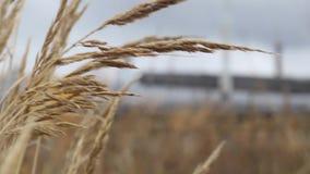 Coloque plantas, grama dourada das orelhas que balança na brisa contra o céu vídeos de arquivo