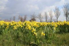 coloque por completo de narcisos amarillos en campo de hierba público en Waddinxv fotografía de archivo libre de regalías