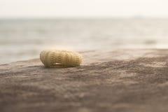 Coloque shell na placa de madeira velha Foto de Stock