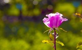 Coloré, beau et sensible s'est levé dans le jardin Couleurs complémentaires Photographie stock