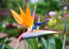 Coloré de l'oiseau de la fleur de paradis Photos libres de droits
