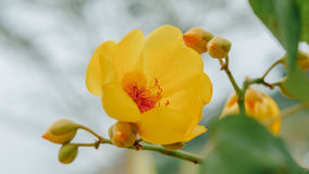 Coloré de la fleur de Supannika, regium de Cochlospermum image stock