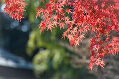 Coloré des feuilles d'érable Photographie stock libre de droits