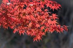 Coloré des feuilles d'érable Photos libres de droits