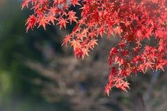 Coloré des feuilles d'érable Images libres de droits