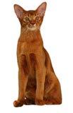 Color abisinio hermoso del alazán del gato Fotografía de archivo