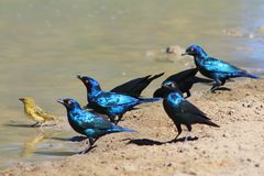 Color from Africa - Starling shine of blue and purple Stock Photos