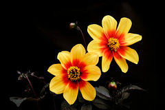 Color amarillo de la dalia y x28; flores en un background& negro x29; Imagen de archivo libre de regalías