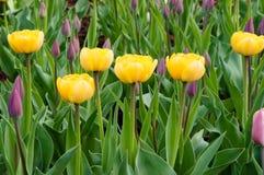 Color amarillo de los tulipanes Imagen de archivo libre de regalías