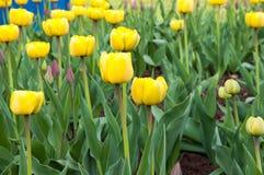 Color amarillo de los tulipanes Imágenes de archivo libres de regalías