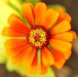 Color anaranjado de la flor (visión superior) Imagen de archivo libre de regalías