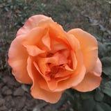 Color anaranjado Rose Flower Fotografía de archivo libre de regalías