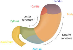 Color Anatomy of the Stomach. A colorful anatomical picture of the stomach Stock Image