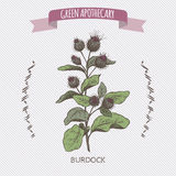 Color Arctium lappa aka greater burdock sketch. Green apothecary series. Great for traditional medicine, cooking or gardening Royalty Free Stock Photo