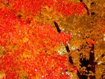Color of Autumn. Red leafs on autumn trees Stock Photo