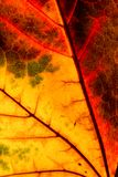 Color autumn leaf green red orange yellow macro. Art abstract royalty free stock photo