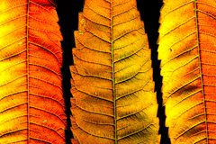 Color autumn leaf green red orange yellow macro stock image