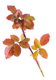 Color autumn rose branch isolated on white Stock Photos