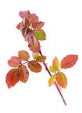 Color autumn rose branch isolated on white. Color autumn rose branch isolated on a white background after rain royalty free stock photography