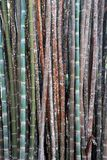 Color bamboo background, wallpaper, bamboo trunks in a grove in Chaingmai Thailand Asia royalty free stock photo