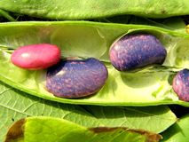Color beans Royalty Free Stock Photography