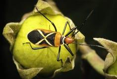 Color beetle in beautifu malaysia. Beautifu color beetle in malaysia stock photos