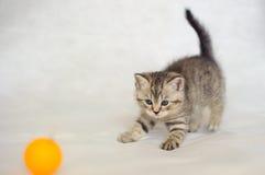 Color berrendo de la capa del pequeño gatito Fotografía de archivo libre de regalías