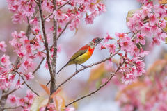Color of bird. Birds and cherry colors of nature Stock Images