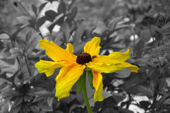 Color black eyed susan on b&w background Stock Images