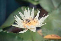 Color blanco de la flor de Lotus con la abeja Imagen de archivo