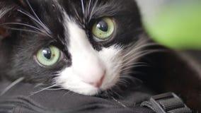 Color blanco y negro grande con los ojos verdes grandes, en alguna parte tristes, primer del gato almacen de metraje de vídeo