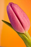 Color bloom with drops Stock Images