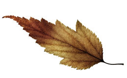 Color burn leaf Stock Photography