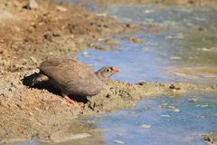 Color of the bush - Francolin, Red-billed Royalty Free Stock Image