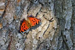 Color butterfly sits on the bark of trees dry royalty free stock photography