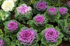The color cabbage Stock Photos