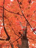Color cambiante del árbol de arce en la caída Fotos de archivo