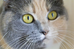 Color cat with yellow eyes Royalty Free Stock Image
